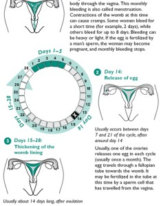 The menstrual cycle also family planning rh fphandbook