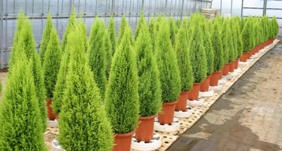 コニファーの種類|育て方、剪定、挿し木は? | 観葉植物ペディア
