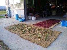 小豆の乾燥