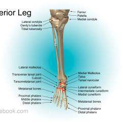 Human Leg Anatomy Diagram Cat 5 Wall Jack Wiring Calf Also Available As A Poster Size Image