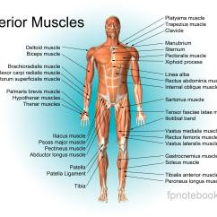 Medial Lower Leg Muscles Diagram Guitar Wiring Diagrams 1 Pickup Volume Musculoskeletal Anatomy Muscle Orthoanteriormuscleall Jpg Also Available As A Poster Size Image