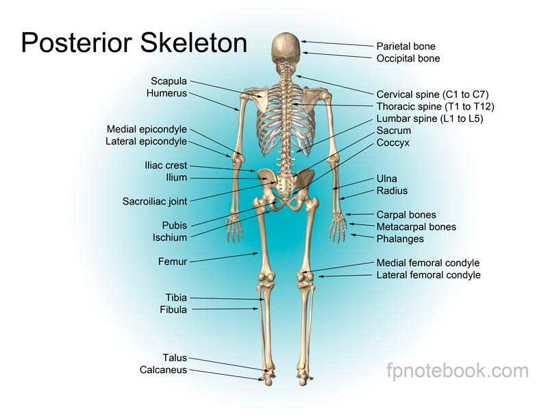 names of bones in human skeleton diagram sony xplod 10 with www toyskids co musculoskeletal anatomy bone labeled