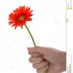 hand-holding-gerbera