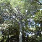 Kapok Tree,  CC BY-SA 3.0
