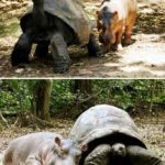 A Turtle and Hippo