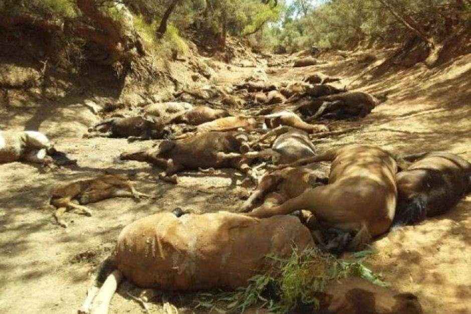 Des dizaines de chevaux mourant de soif ont été découverts dans une mare asséchée près d'Alice Springs, au centre de l'Australie. © Ralph Turner, Facebook