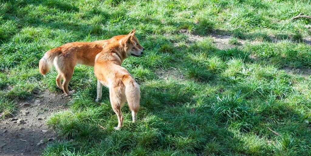 En Australie, certains dingos sont de moins en moins sauvages. © Marco Saracco, Fotolia