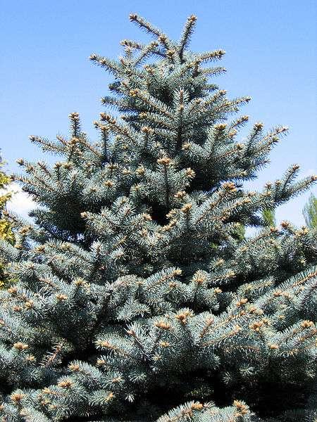 Picea pungens « Montgomery » de Pologne, un conifère de la famille des pinacées. On le surnomme sapin bleu du Colorado car c'est dans cette région des États-Unis qu'un botaniste, Charles Parry, le découvrit en 1862. © Nova, GNU Free Documentation License, Version 1.2