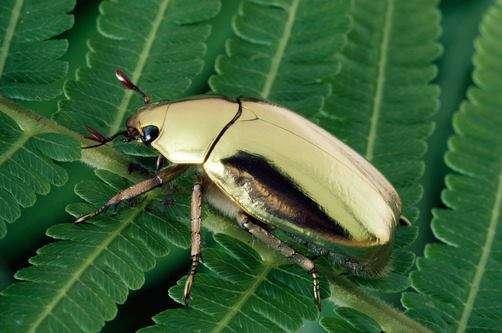 Un scarabée doré peut se vendre jusqu'à quelque 350 euros! © La tribune des insectes, Facebook