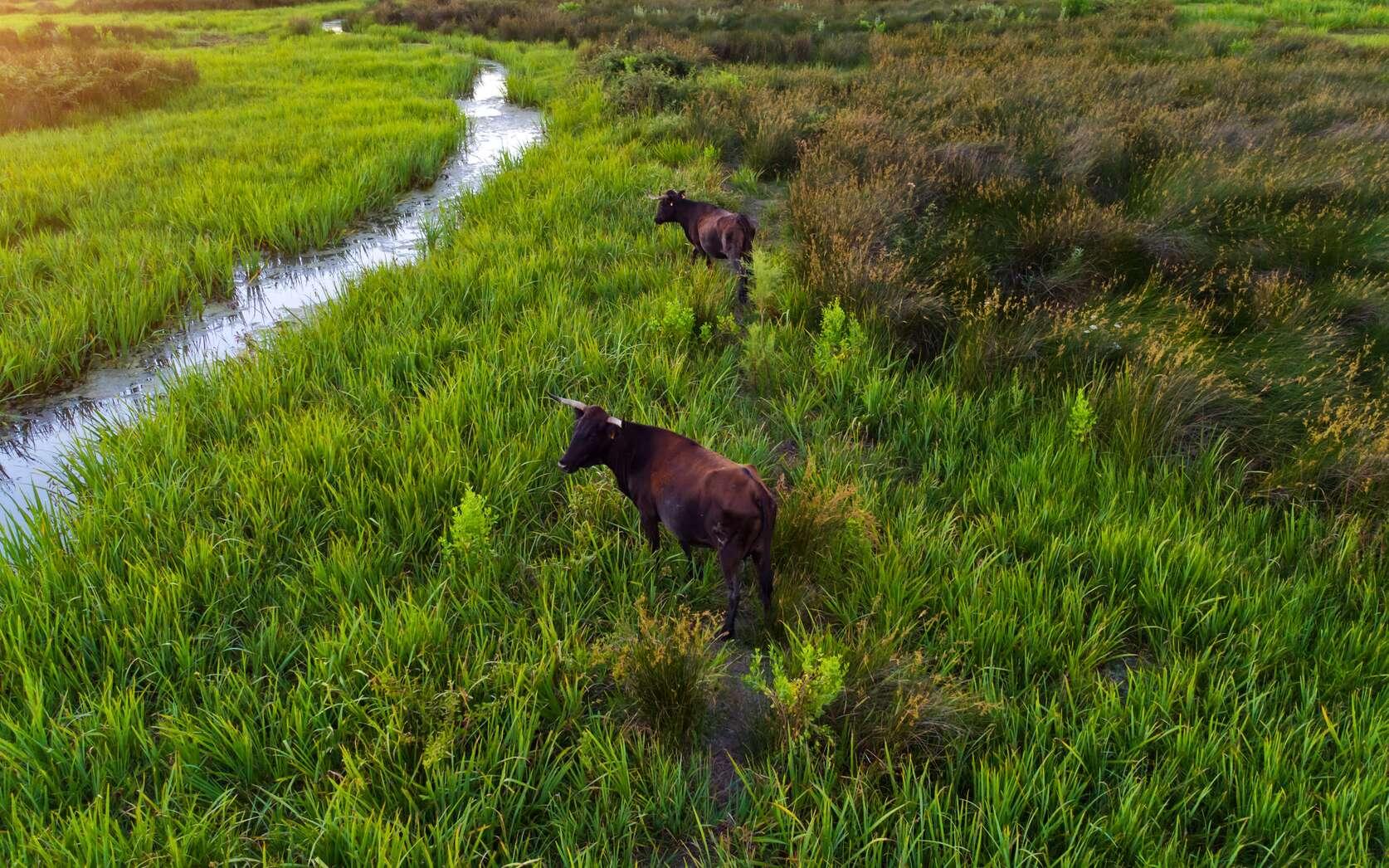 Pourquoi cultiveton du riz en Camargue