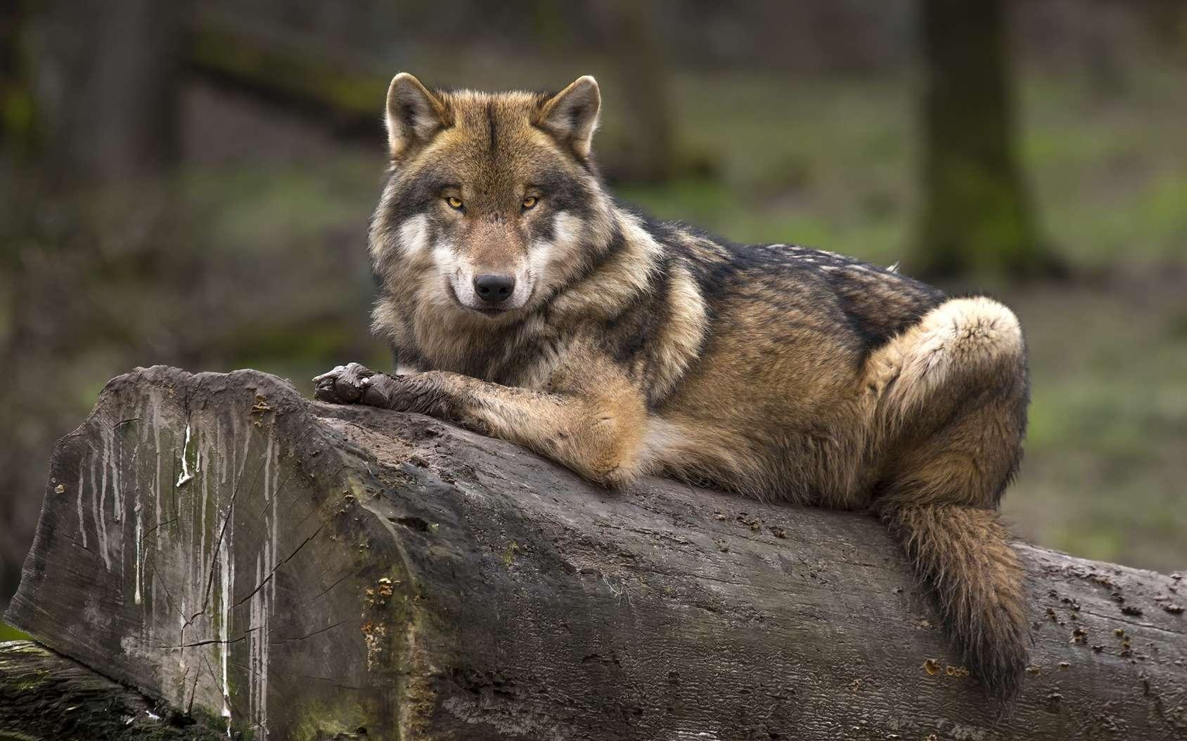 Des loups sont-ils en train de devenir des chiens