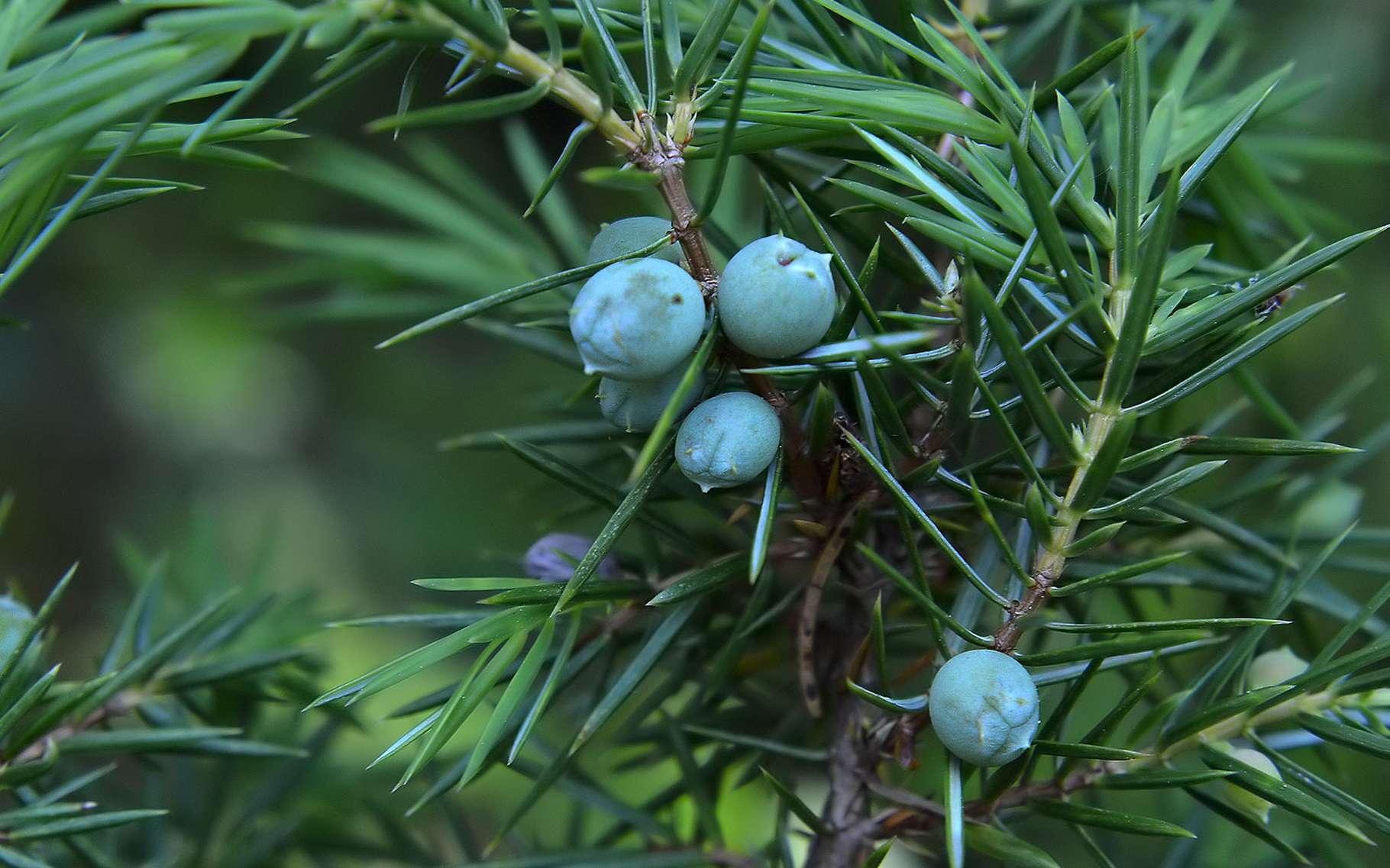 Dfinition  Genvrier commun  Juniperus communis  Futura Plante