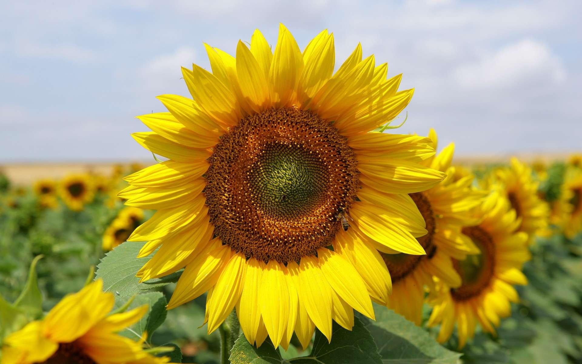 Gambar Bunga Matahari Mawar