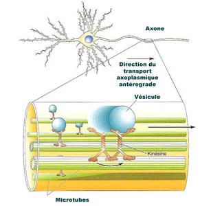 Implication des microtubules dans le transport axomplasmique. Le matériel à transporter est incorporé dans la membrane de vésicules particulières qui vont migrer du soma vers la partie terminale des axones grâce à l'action d'une protéine, la kinésine, se déplaçant le long des microtubules par un processus dépendant de l'ATP - DR - Neurones excitateurs versus neurones inhibiteurs - Futura Santé