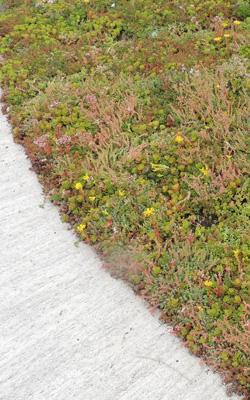 tapis de sedums pre cultive plaque au m2