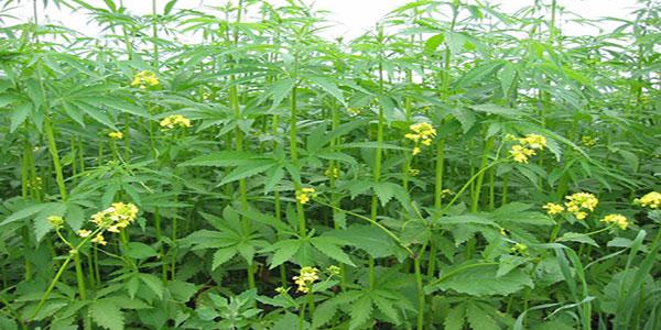 Photo d'une plantation du chanvre.