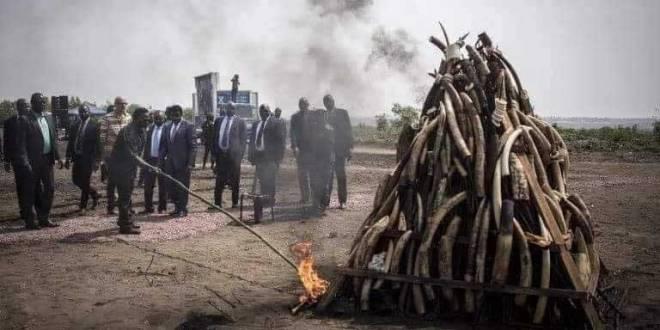 Jokaka en train bruler les stocks d'ivoire.