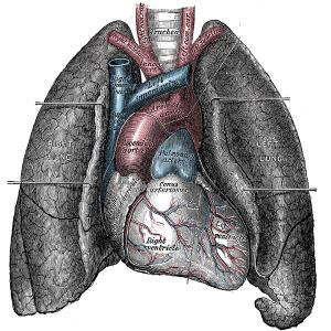 Heart and lungs 300cc - Nature