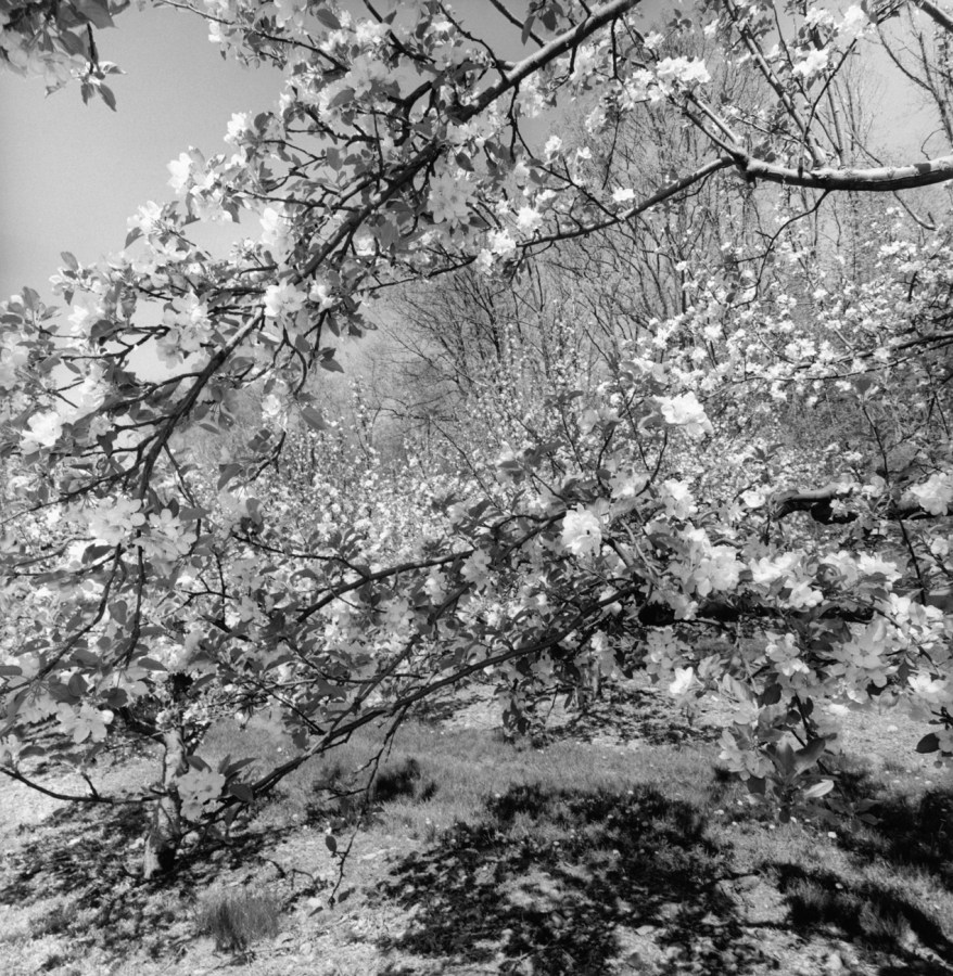 Black-and-white photograph of branches of a cherry blossom tree