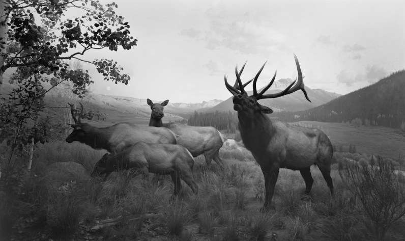 Black-and-white photograph of a museum diorama of four deer in a mountain meadow