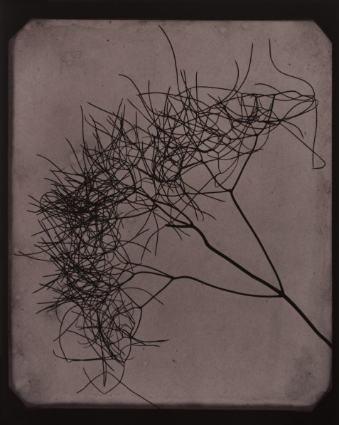 Toned photograph of a sprig of twig-like branching fennel plant
