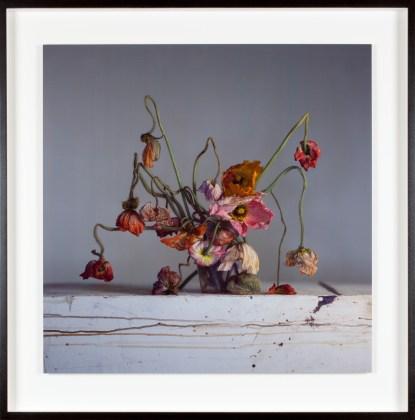 Live and dead poppies, 2018, unique Ilfochrome photograph