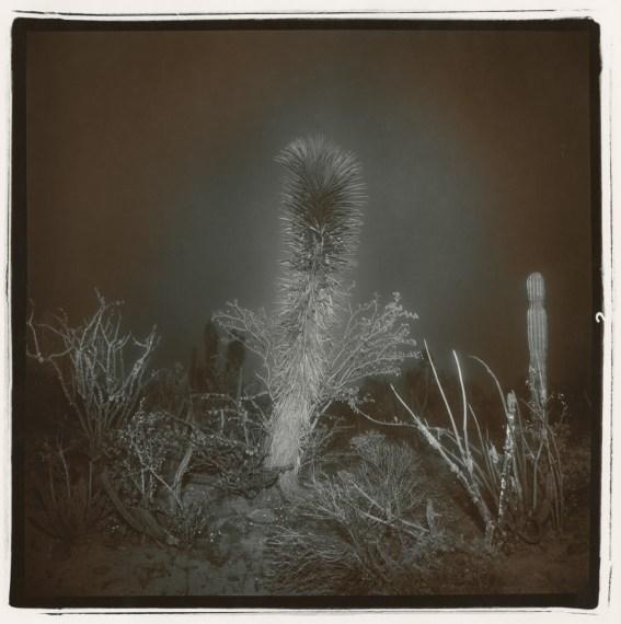 Untitled (Yucca in Fog, Baja (Yucca #1)), 1976, split-toned selenium gelatin-silver print
