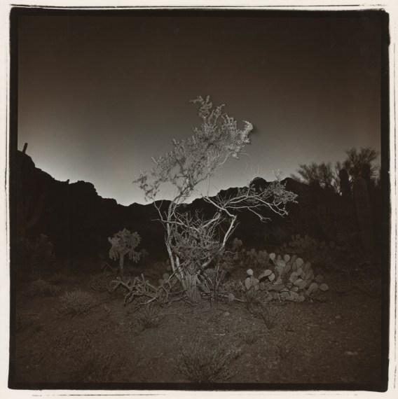 Untitled (Burning Bush #2, Arizona), 1976, split-toned selenium gelatin-silver print