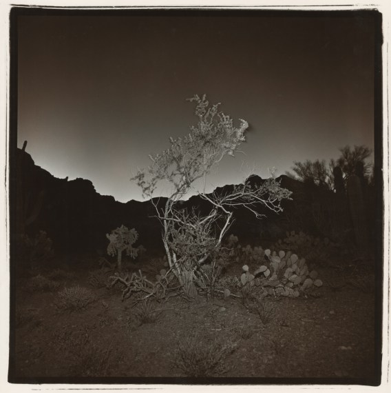 Untitled (Burning Bush #2, Arizona), 1976, split-toned selenium gelatin-silver print