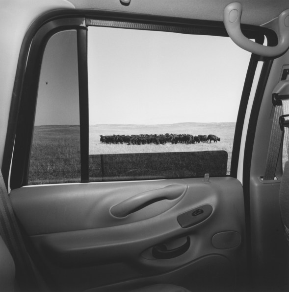 Black and white photograph out the window of a car of a group of cows