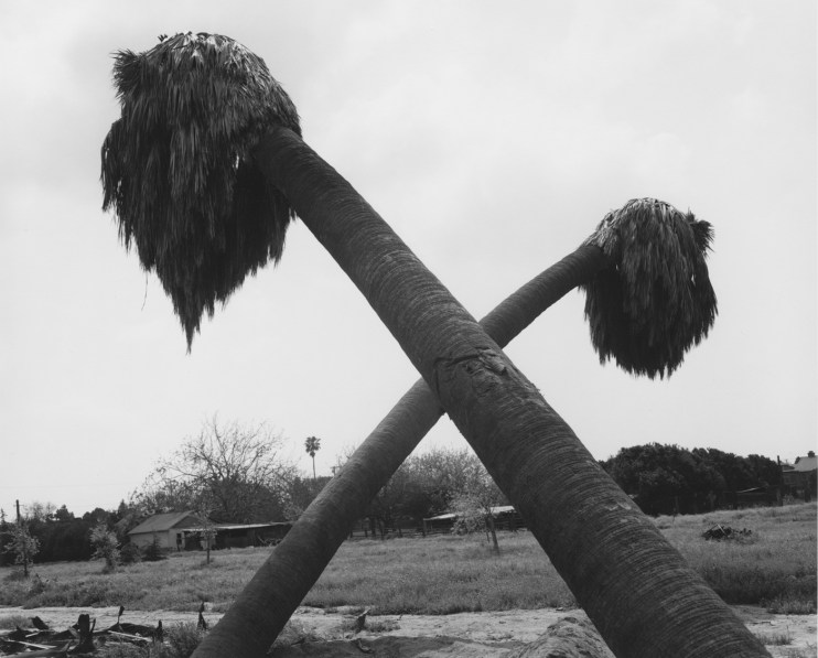 "Black-and-white photograph of two leaning palm trees crossed to form an ""x"""