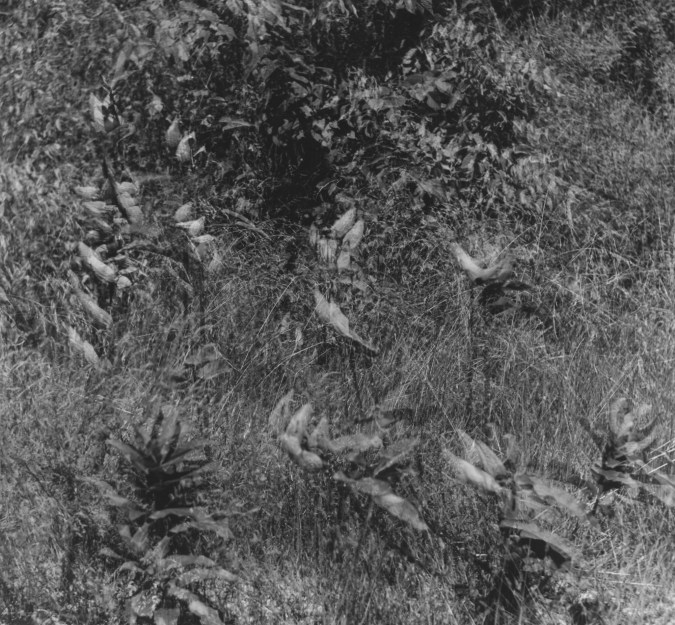 Black-and-white multiple-exposure photograph of short leafy plants standing in grass