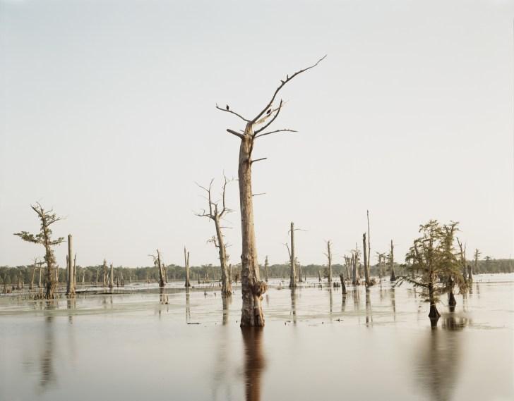 Cypress Tree, Alligator Bayou, 1998, chromogenic print