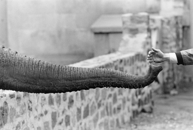 Black-and-white photograph of an elephant's trunk extended towards a person's outstretched hand