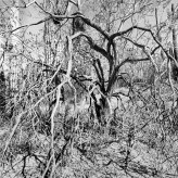 Black and white photograph of tangled bare tree branches with cacti in the background