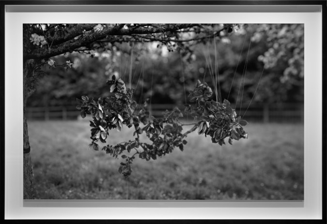 Black-and-white photograph of leafy branches suspended from a tree branch with thin filaments