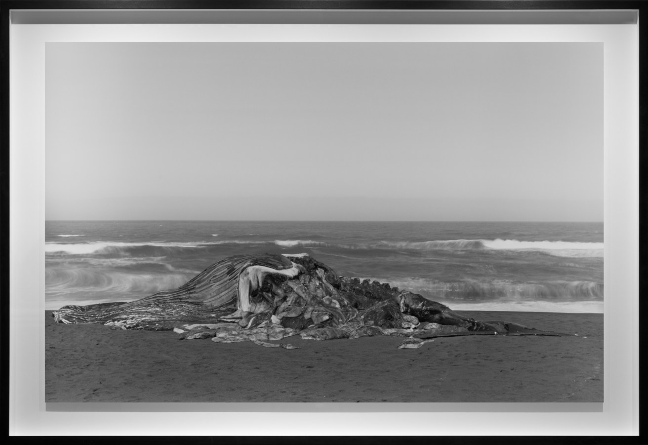 Black-and-white photograph of a decomposing beached whale against waves crashing on the seashore