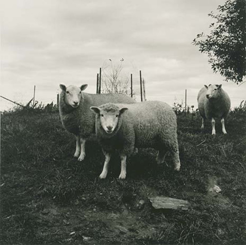Black-and-white photograph of three sheep in a fenced-in pasture looking at the viewer