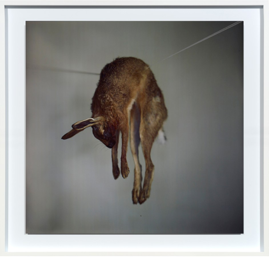 Color photograph of a dead rabbit hanging on a suspended string on a gray background