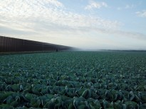 Color photograph of low rows of cabbage and a tall metal fence on the left extending to the horizon