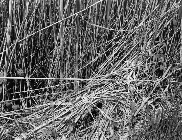 Black-and-white photograph of flattened stems of grass