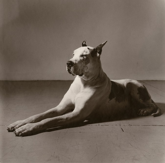Black-and-white photograph of a large white dog with black patches lying on the floor with front paws outstretched