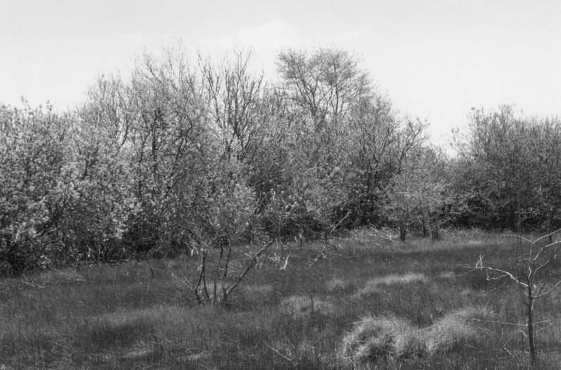 Black-and-white photograph of a line of trees