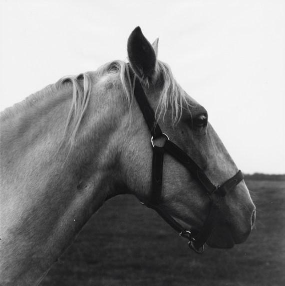 Horse in Harness (I), 1969, gelatin-silver print
