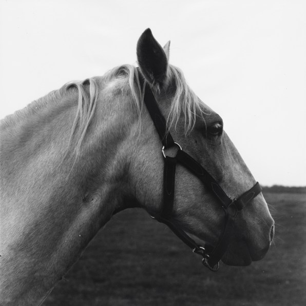 Black-and-white photograph of a palomino horse's head in profile