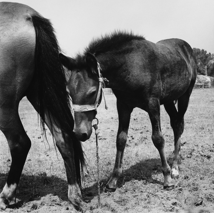 Black-and-white photograph of a foal in a harness following its mother's tail
