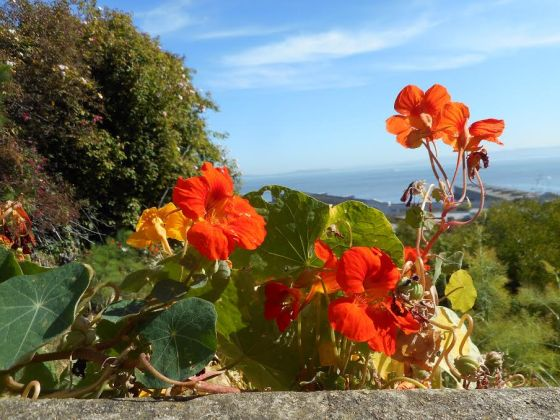 Tisa Walden, nasturtiums, from the top of Chestnut St. overlooking the bay, 6.2016, pigent print