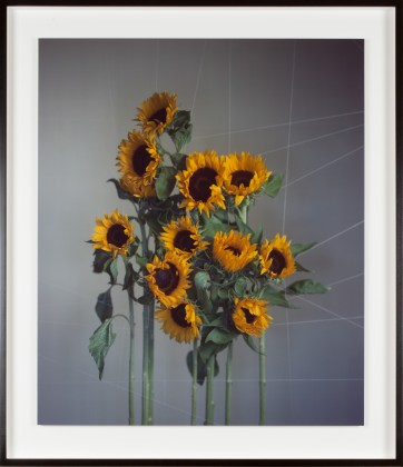 Richard Learoyd, Large sunflowers, 2018, unique Ilfochrome photograph