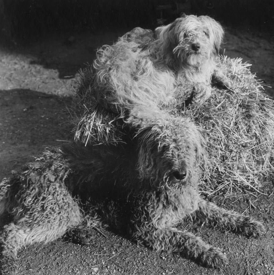 Black-and-white photograph of two dogs with shaggy and curly coats lying on a hay bale
