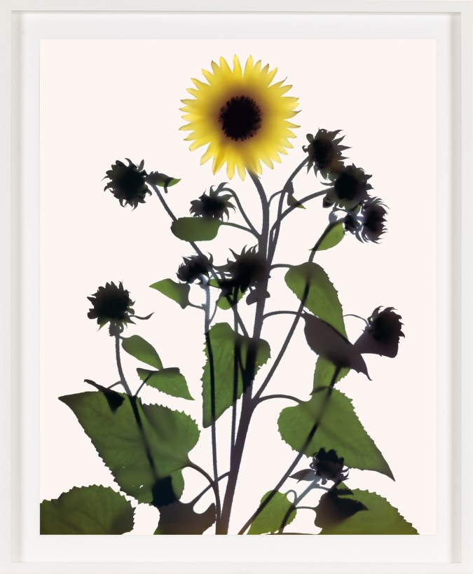 Image of a single yellow flower among green leaves and silhouetted flower budsbuds